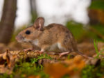 yellow necked mouse
