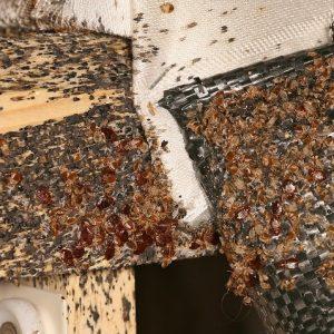 bedbug infestation
